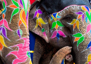 hidden-rajasthan-and-the-holi-festival-shutterstock-174610268-painted-elephants-pano